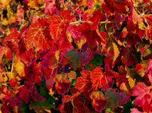 Autumn Leaves. Beautiful Autumn leaves, with all of the colors of the rainbow, in full harvest Royalty Free Stock Photos