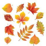 Autumn leaves. Beautiful bright autumn leaves. Vector clipart Stock Image