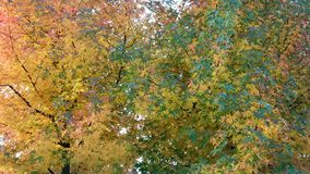 Autumn leaves. Beautiful autumn leaves in the colors yellow, red en green Stock Photography