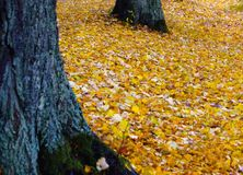 Autumn leaves. Beautiful contrast between the leaves and the trucks Royalty Free Stock Photo