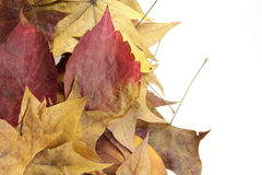 Autumn leaves. Beautiful Autumn dry leaves isolated on the white background Stock Photo