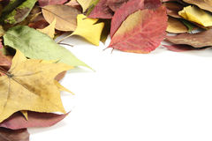 Autumn leaves. Beautiful Autumn dry leaves isolated on the white background Royalty Free Stock Photos