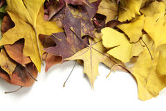 Autumn leaves. Beautiful Autumn dry leaves isolated on the white background Royalty Free Stock Photo