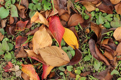 Autumn leaves. Autumn a beautiful autumn leaves, here and there in the dances are fallen leaves Royalty Free Stock Photography