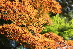 Autumn leaves. Autumn a beautiful autumn leaves, here and there in the dances are fallen leaves Stock Images