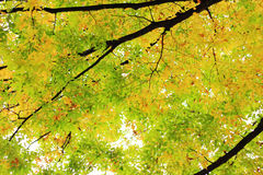 Autumn leaves. Autumn a beautiful autumn leaves, here and there in the dances are fallen leaves Royalty Free Stock Photo