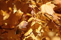 autumn leaf fall in the park yellow leaves on a tree stock image