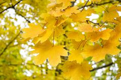 Autumn leaves. Beautiful yellow maple leaves. Tree branches in autumn Royalty Free Stock Image