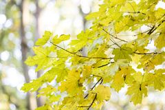 Autumn leaves. Beautiful yellow maple leaves. Tree branches in autumn Royalty Free Stock Photography
