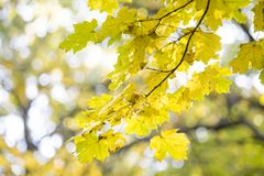 Autumn leaves. Beautiful yellow maple leaves. Tree branches in autumn Royalty Free Stock Photo