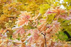 Autumn leaves. Beautiful yellow maple leaves. Tree branches in autumn Royalty Free Stock Photos