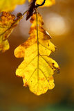Autumn leaves. Beautiful yellow and red leaves on an autumn bush Royalty Free Stock Photos