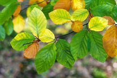 Autumn leaves of beech Royalty Free Stock Images