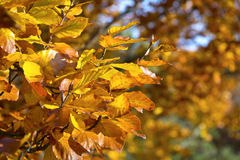 Autumn leaves, beech tree Royalty Free Stock Photos