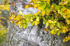Autumn Leaves and Beech Tree Trunk. Colorful Soft Focus Fall Background royalty free stock photo