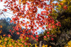 Autumn leaves in Bei Jiu Shui trail, Laoshan Mountain, Qingdao, China. Bei Jiu Shui is famous for the many pools of crystal clear water and it`s waterfalls Stock Image