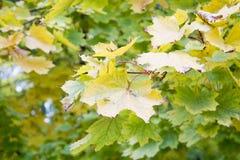 Autumn Leaves Belles feuilles jaunes d'érable Photo stock