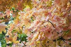 Autumn Leaves Belles feuilles jaunes d'érable Photographie stock libre de droits