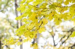 Autumn Leaves Belles feuilles jaunes d'érable Photos libres de droits