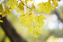 Autumn Leaves Belles feuilles jaunes d'érable Photo libre de droits