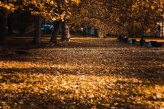 Autumn leaves on bench under yellow maple tree in park Stock Photography