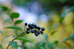 Autumn leaves and berries Stock Photography