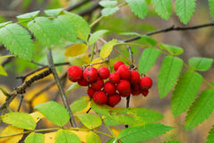 Autumn leaves and berries Stock Photo