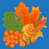 Autumn leaves and berries on a blue background. Autumn bouquet, Royalty Free Stock Photo