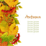 Autumn leaves and berries Royalty Free Stock Images