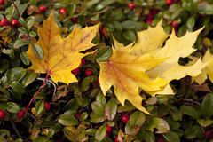 Autumn Leaves and Berries. Some autumn leaves have freshly fallen on to the hedge below which itself is covered in red berries royalty free stock photo