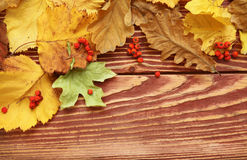 Autumn leaves and berry Royalty Free Stock Photos