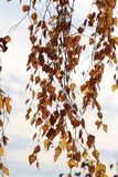 Autumn leaves. Of a birch against the sky Stock Images