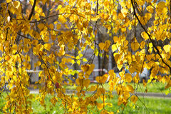 Autumn leaves. Autumn birch leaves background image royalty free stock image