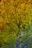 autumn leaves of a birch on a tree Royalty Free Stock Images