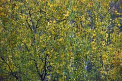 autumn leaves of a birch on a tree Stock Photography
