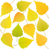 Autumn leaves of birch Royalty Free Stock Photo
