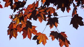 Autumn leaves blowing in the wind stock footage