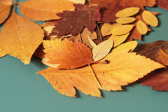 Autumn leaves. On blue background Royalty Free Stock Image