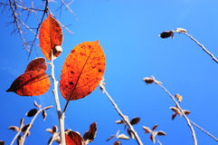 Autumn leaves on blue sky. Red yellow fall leafs over the blue sky Royalty Free Stock Image
