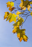 Autumn leaves on the blue sky Royalty Free Stock Photography