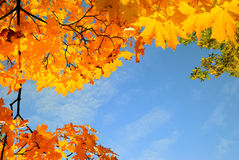 Autumn leaves blue sky. Bright autumn or fall leaves and blue sky Royalty Free Stock Image