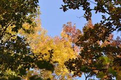 Autumn leaves with blue sky. Autumn leaves against blue sky Royalty Free Stock Images