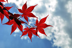 Autumn leaves with the blue sky background Stock Photo