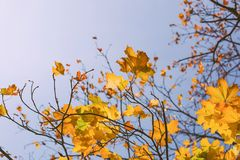 Autumn leaves with the blue sky Royalty Free Stock Images