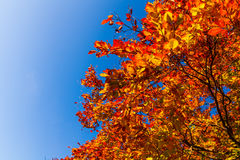 Autumn leaves with the blue sky background Stock Photos
