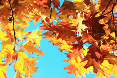 Autumn leaves with the blue sky background Royalty Free Stock Images