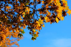 Autumn leaves on blue sky background Stock Image