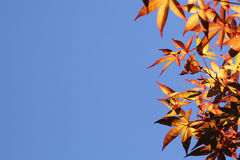 Autumn leaves with the blue sky background. Park Stock Images