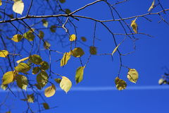 Autumn leaves and blue sky. Autumn leaves on branches with blue sky background Royalty Free Stock Photo