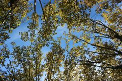 Autumn Leaves and Blue Sky. Close up of Autumn Leaves During Sunset, Blue Sky Background Stock Photos